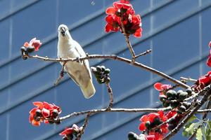 香港:木棉花開春意濃