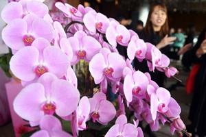 香港迎春年花亮相 超大蘭花組合吸引眼球
